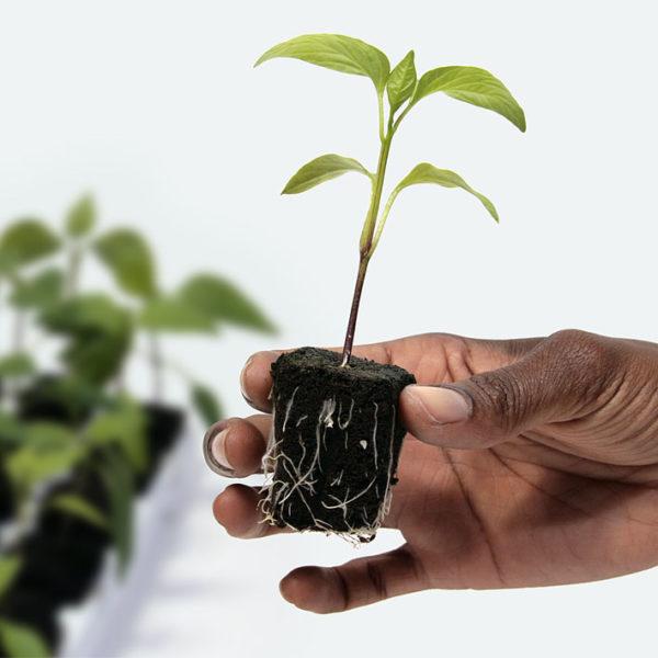 Root ed seedling